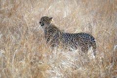 Cheetah in tall grass in Pilanesberg National Park. Cheetah standing in tall, dry grass in Pilanesberg National Park, South Africa royalty free stock photo