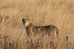 Cheetah in tall grass. Watching us before you start hunting in a African park Royalty Free Stock Photography