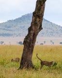 A cheetah in Tanzania during an african safari. A cheetah next to a tree in Tanzania during an african safari stock photography