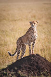 Cheetah on termite mound. A cheetah stands atop a termite mound to look round the Masai mara early in the African morning Stock Photos