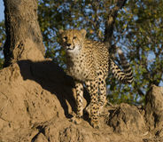 Cheetah on termite mound Royalty Free Stock Images