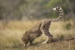 Cheetah territory. Cheetah in territorial stans smelling the ground Stock Photography
