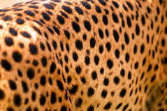Cheetah texture Royalty Free Stock Photo