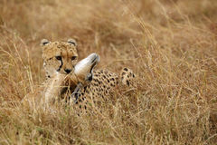 Cheetah with a Thomson Gazelle kill Royalty Free Stock Images