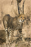 Cheetah in thornybush Royalty Free Stock Image