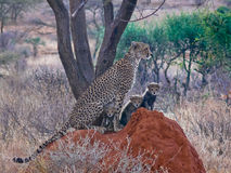 Cheetah with three cubs Royalty Free Stock Photos