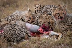 Cheetah and three cubs feeding on carcase Royalty Free Stock Image