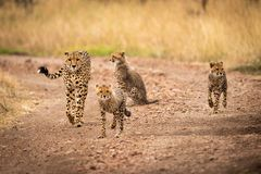 Cheetah and three cubs walking down track Royalty Free Stock Photography
