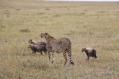 Cheetah with three cubs in the wild maasai mara Royalty Free Stock Photo