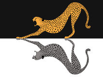 Cheetah tiger Stock Photography