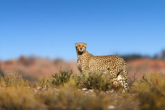 Cheetah on top of a hil Royalty Free Stock Photography