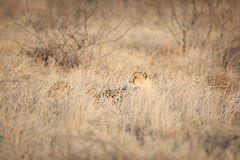 Cheetah totally camouflaged lying in the grass. Cheetah camouflaged in the African bush Stock Photos