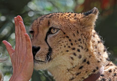 Cheetah Training. Close up portrait of cheetah face with human hand royalty free stock image