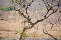 Cheetah in tree. A cheetah climbing a tree in South Africa to gain a better view of its prey royalty free stock photo