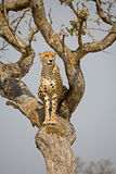 Cheetah in tree. A cheetah in a tree in South Africa looking out for its prey royalty free stock images