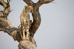 Cheetah in tree. A cheetah in a tree in South Africa looking out for its prey royalty free stock photo