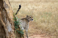 Cheetah by the tree. Cheetah in Kenya in the morning Royalty Free Stock Photography