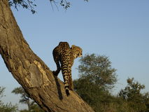 Cheetah in tree Stock Images