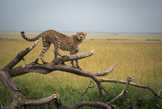 Cheetah on the tree. In the morning safari masai mara Royalty Free Stock Photos