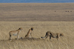 Cheetah Trio. Three cheetahs on open plains of Serengeti Masai Mara ecosystem, East Africa Stock Photo