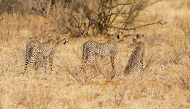 Cheetah trio go hunt Royalty Free Stock Photography