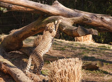 Washington DC Zoo Cheetah Cat Stock Image