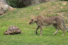 Cheetah and turtle Stock Image