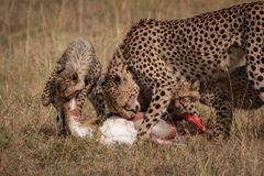 Cheetah and two cubs eat Thomson gazelle Royalty Free Stock Photos