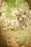 Cheetah under brush Royalty Free Stock Images