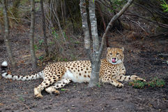 Cheetah in undergrowth Royalty Free Stock Images
