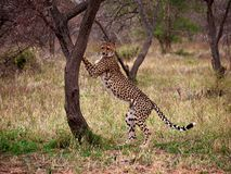 Cheetah up against tree Stock Image