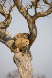 Cheetah up a tree in Africa. Cheetah on the look-out in a tree in South Africa Royalty Free Stock Images