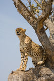 Cheetah up a tree in Africa. Cheetah on the look-out in a tree in South Africa Stock Image