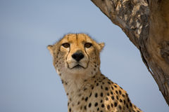 Cheetah up a tree in Africa. Close up of face of a cheetah on the look-out in a tree in South Africa royalty free stock image