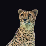 Cheetah vector portrait Stock Photography
