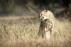 Cheetah in the veld. Cheetahs snarling at a predator in the morning light Royalty Free Stock Photo