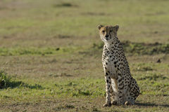 Cheetah waiting for prey in Masai Mara Royalty Free Stock Photos