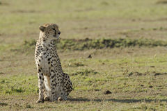 Cheetah waiting for prey in Masai Mara Royalty Free Stock Photography