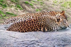 Cheetah waiting for prey Stock Image
