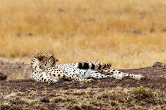 Cheetah waking up from a nap in Africa Stock Images