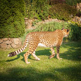 Cheetah on a walk in nature Royalty Free Stock Photos