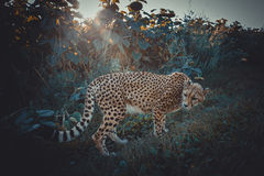 Cheetah on a walk in nature. Closely Viewing surroundings Stock Photo
