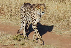 Cheetah walking across the road , Acinonyx juba. Cheetah walking across the road, Acinonyx juba, Namibia, Africat Foundation Royalty Free Stock Images
