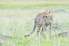 Cheetah walking around rocks  Royalty Free Stock Image