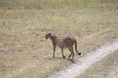 Cheetah Walking Away. Heavily pregnant female cheetah patrolling her territory in the Serengeti national park, Tanzania Royalty Free Stock Image