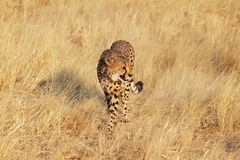 Cheetah walking Royalty Free Stock Photos