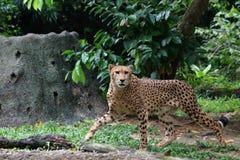 Cheetah 1. Cheetah walking while cautiously staring at the side Royalty Free Stock Photos