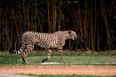 Cheetah walking with dark trees in background Royalty Free Stock Photo