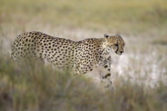 Cheetah walking in Grassland Royalty Free Stock Images