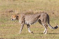 Cheetah walking Royalty Free Stock Image